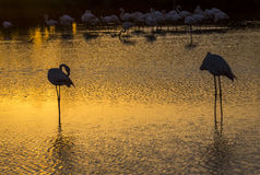 Flock of Flamingos at sunset in the Camargue , France Royalty Free Stock Photo