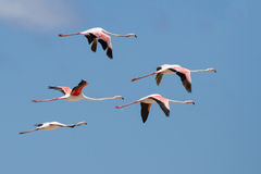 Flock of flamingos taking off from lagoon to fly away Stock Photo