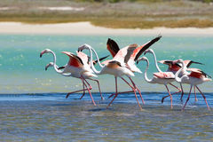 Flock of flamingos taking off from lagoon to fly away Stock Images