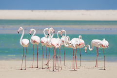 Flock of flamingos wading in shallow lagoon water Stock Images