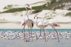 Flock of flamingos wading in shallow lagoon water Stock Photos