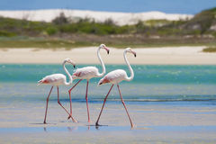 Flock of flamingos wading in shallow lagoon water Royalty Free Stock Photo
