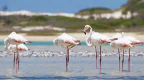 Flock of flamingos wading in shallow lagoon water Royalty Free Stock Image
