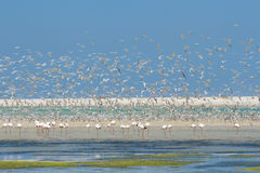 Flock of flamingos wading in shallow lagoon water with swarm of Royalty Free Stock Image