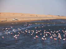 Flock of flamingos in Walvis Bay Stock Photos