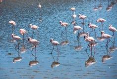Flock of flamingos at Walvis Bay, Namibia Royalty Free Stock Image