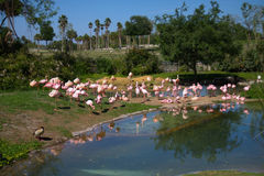 Flock of Flamingos Stock Photography