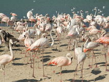 Flock of flamings Stock Image