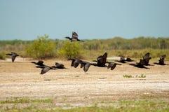 Flock of Flying Birds Royalty Free Stock Photos