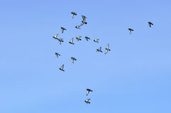 Flock of flying birds Royalty Free Stock Photo