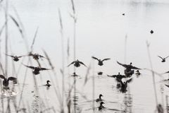 Flock flying ducks Royalty Free Stock Photos