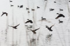 Flock flying ducks Royalty Free Stock Photography