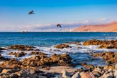 Flock of flying pelicans in flight, Chile. Pelicans near Santiago de Chile royalty free stock photos
