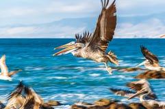 Flock of flying pelicans in flight, Chile. Pelicans near Santiago de Chile stock image