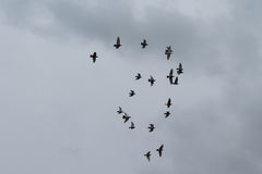 Flock of flying pigeons forming a shape Royalty Free Stock Photos