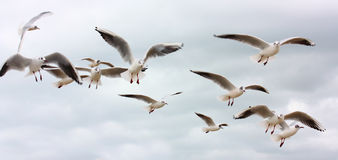 Flock of flying seagulls. Flying against a sky background royalty free stock photography