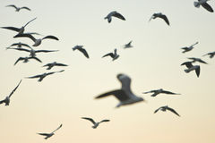 Flock of flying seagulls at dawn stock image