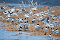 Flock of flying terns Stock Image