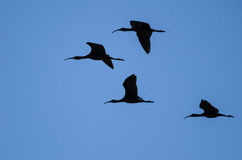 Flock of Four White-faced Ibis Silhouetted in a Blue Sky Royalty Free Stock Photos