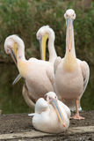 Flock of four white pelicans Stock Image