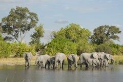 Flock för afrikansk elefant som (Loxodontaafricana) dricker på vattens e Royaltyfri Bild