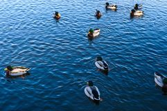 A flock of freshwater ducks swims in the lake. Top view Stock Photography