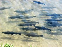 A trout flock in a pond. A flock of freshwater fish trout floats at the in farmer pond royalty free stock photos