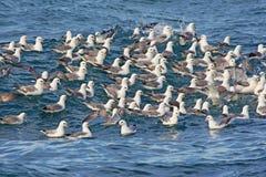 Flock of Fulmars Royalty Free Stock Photo