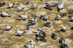 Flock of gannet birds royalty free stock photography