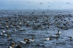 A flock of gannets  along the coastline of  bempton Cliffs, Yorkshire , UK Royalty Free Stock Photo
