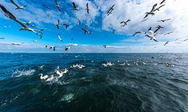 A flock of gannets flying and diving for fish. A wide angle view of a flock of gannets flying and diving for fish at the Bempton cliffs in Yorkshire .UK. 2017 Stock Image