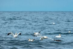 A flock of gannets near Penzance in Cornwall Royalty Free Stock Photo