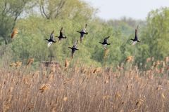A flock of Garganey duck in fast, rising flight. Stock Photos