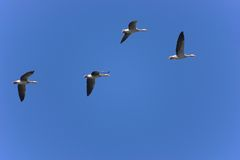 Flock of geese Royalty Free Stock Photography