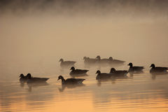 Flock of Geese Royalty Free Stock Images