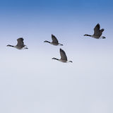 Flock of Geese. Flying in the sky Stock Photos