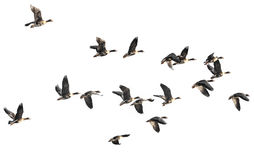 A flock of geese Stock Photography