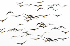 A flock of geese Royalty Free Stock Image