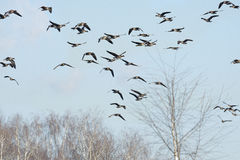 A flock of geese Stock Images