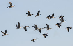A flock of geese Royalty Free Stock Photo