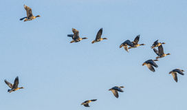 A flock of geese Royalty Free Stock Photos