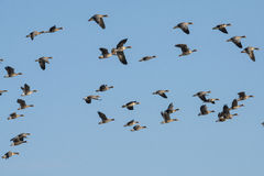 A flock of geese Stock Photo