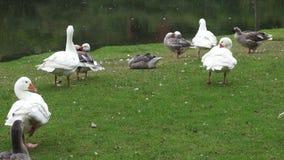 Flock of Geese, Birds, Animals, Nature, Wildlife stock video footage
