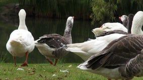 Flock of Geese, Birds, Animals, Nature, Wildlife stock footage
