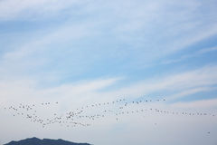 Flock of geese birds Stock Photography