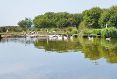 Flock of geese in Briere Marsh, France Royalty Free Stock Images