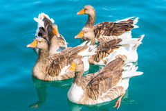 Flock of geese close up. Geese swim in clean sea Royalty Free Stock Image