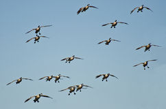 Flock of Geese Coming in for Landing Stock Photo