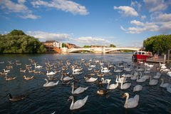 A flock of geese and duck Royalty Free Stock Image