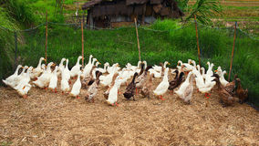 Flock of geese Royalty Free Stock Photos